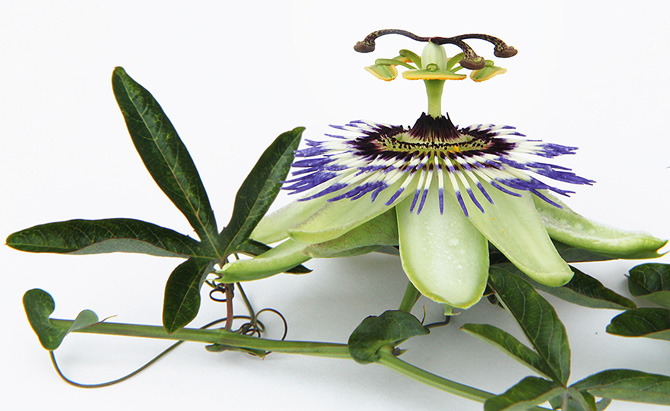 passion-flower-1