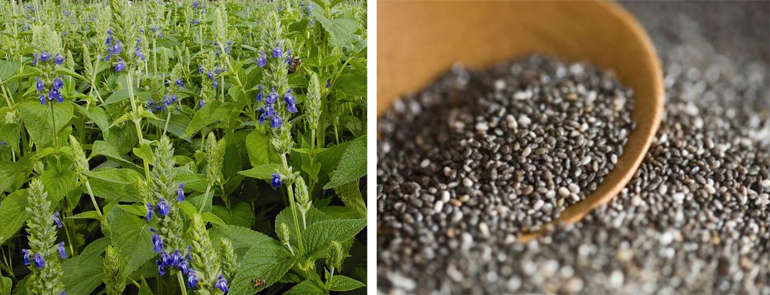 Chia-Salvia-Hispanica-Ms_b9bcd