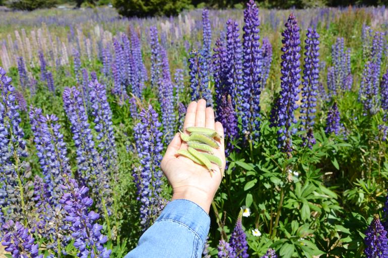 Campo di fiori di lupini in Nuova Zelanda. Raccogliere semi