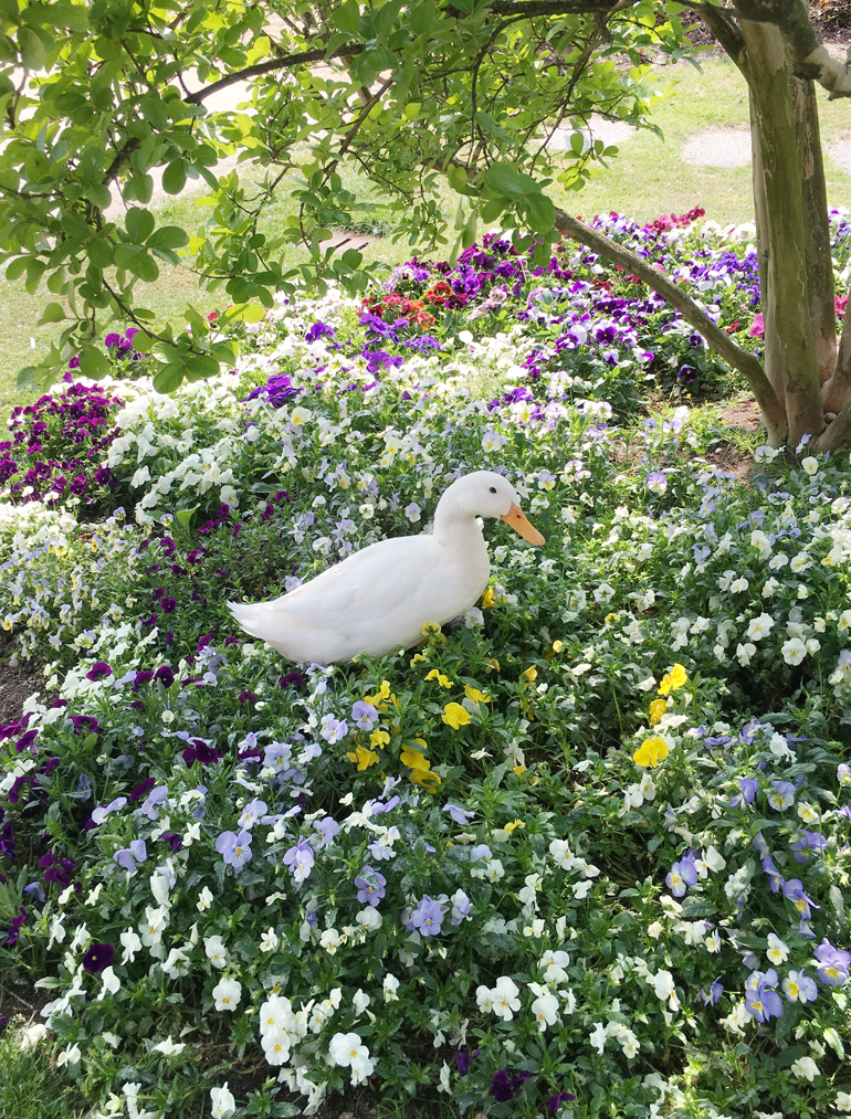 Anatra tra i fiori