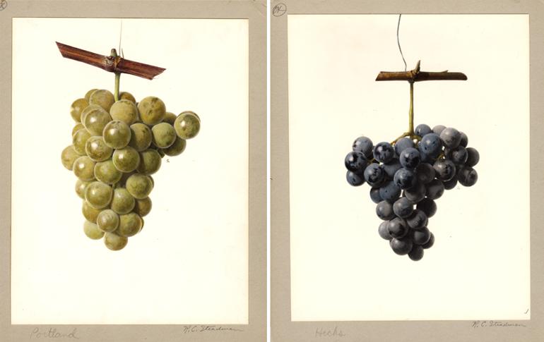 Royal Charles Steadman, grappoli d'uva, disegni ad acquarello
