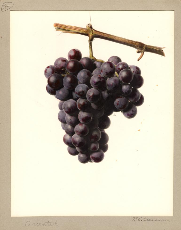grappolo d'uva acquarello