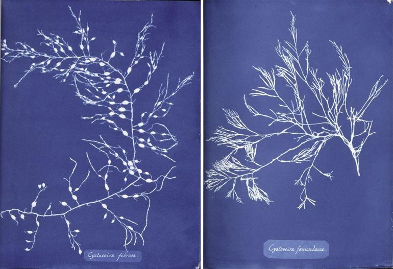 Anna Atkins, cianotipie di alghe, 1843-19853