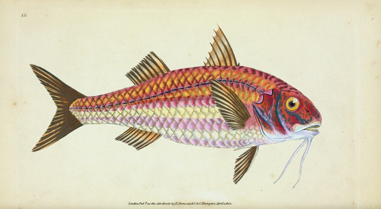 Edward Donovan, Surmulet, Mullus Surmuletus, disegno ad acquarello, 1802