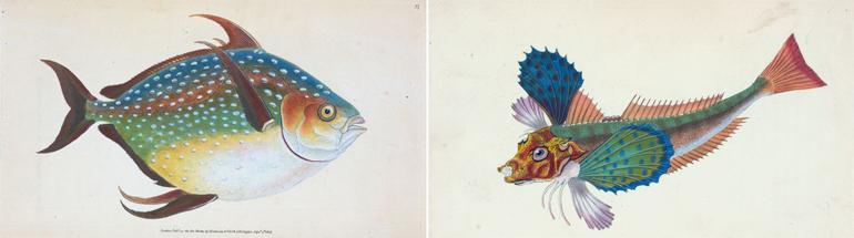 Edward Donovan, Surmulet, pesci, disegni ad acquarello, 1805-1807