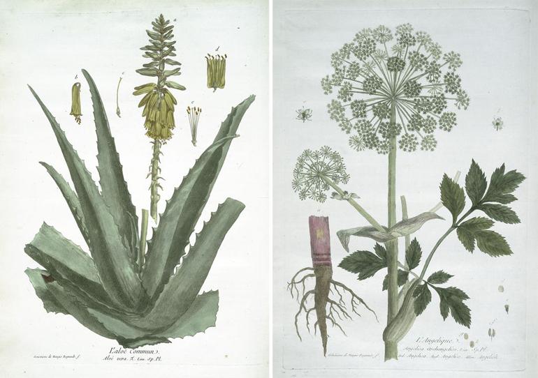 Disegno botanico, 1774