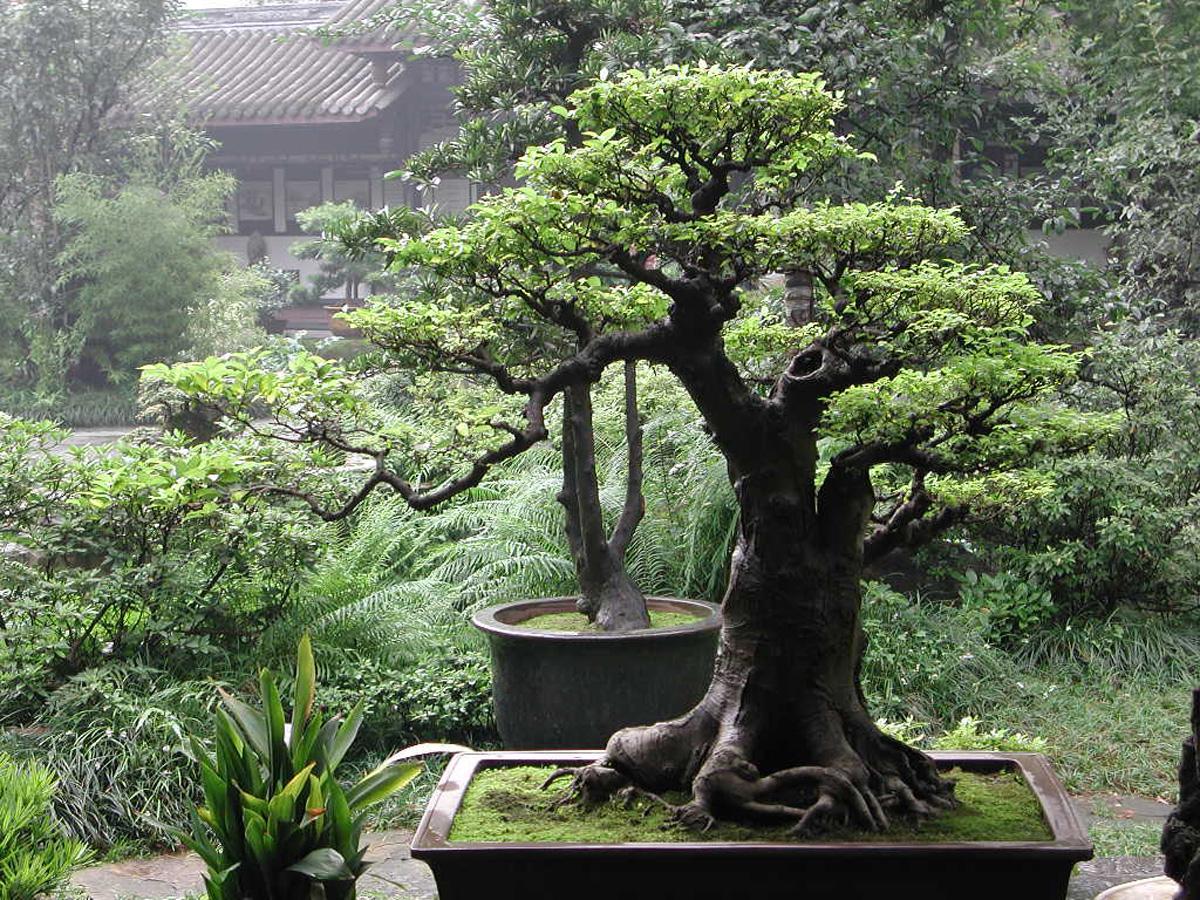 bonsai-giappone