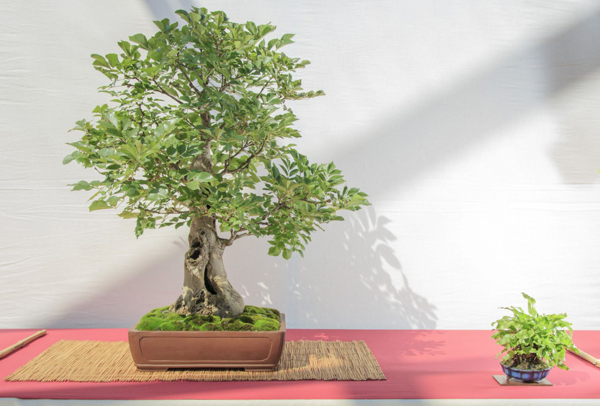 bonsai-pianta-da-compagnia-2