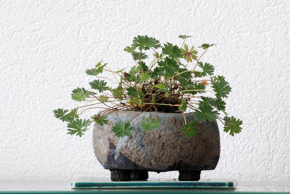 bonsai-pianta-da-compagnia-geranio