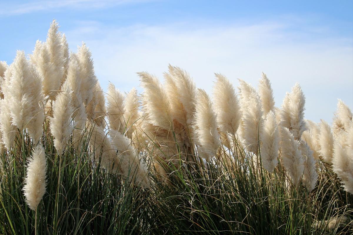 L 39 erba della pampas alla conquista di pinterest for Erba della pampas riproduzione
